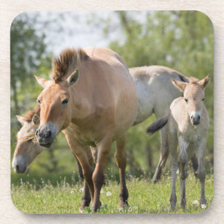 Przewalski's Horse and foal walking Coaster