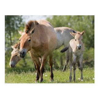 Przewalski's Horse and foal walking Postcard