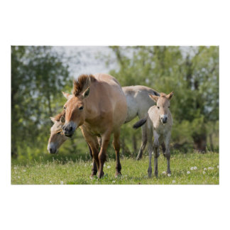 Przewalski's Horse and foal walking Poster