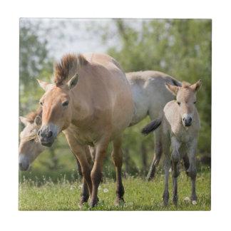 Przewalski's Horse and foal walking Tile