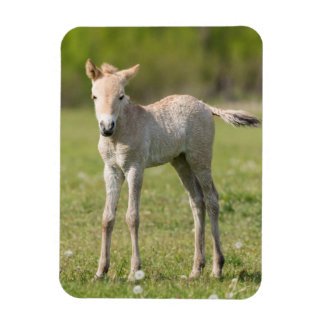 Przewalski's Horse foal, Hungary Rectangular Photo Magnet
