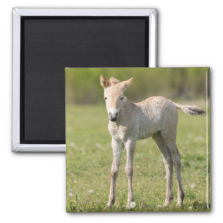 Przewalski's Horse foal, Hungary Square Magnet