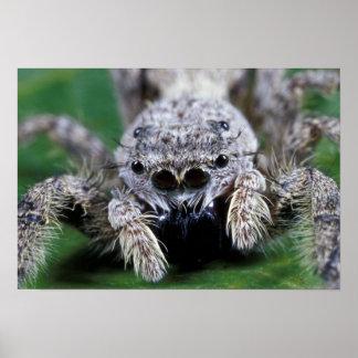 PS sautant de Metaphidippus d'araignée de Metaphid Poster