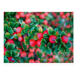 Psalms with Berries Postcard