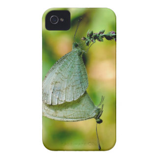 Psyche Leptosia Nina Butterflies Mating iPhone 4 Cases