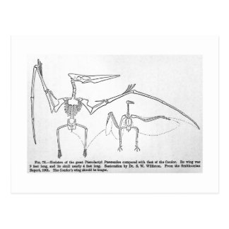 Pteranodon skeleton art postcard