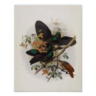 Ptiloris victoriae - Queen Victoria's Rifle-bird Poster