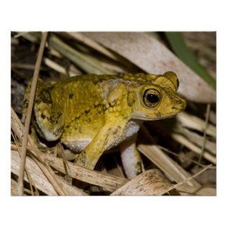 Puerto Rican Crested Toad Poster