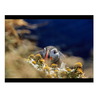 Puffin in hiding postcard