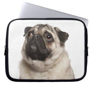 Pug (13 months old) looking up laptop sleeve