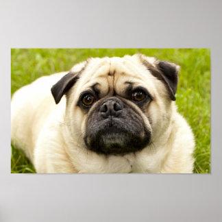Pug cute dog beautiful photo poster, print, gift poster