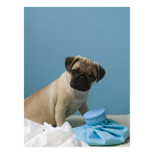 Pug dog sitting on bed by hot water bottle and postcard