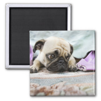 Pug looking innocent after chewing the toe off square magnet