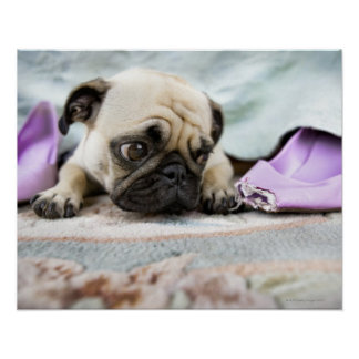 Pug looking innocent poster