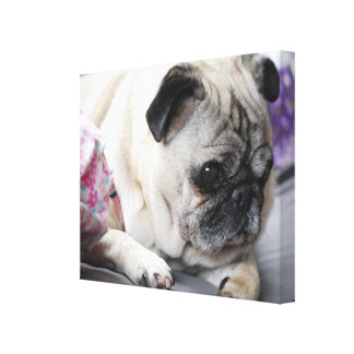 PUG - PUG - Photography Jean Louis Glineur Canvas Print