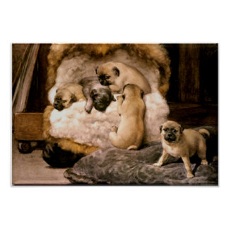 Pug Puppies Poster