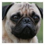 Pug Puppy Dog Poster