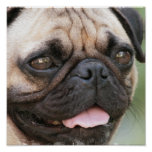 Pug Puppy Poster Print