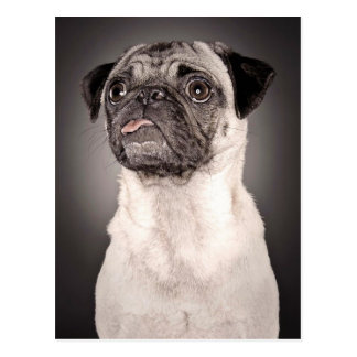 Pug Standing Up and Attentive with Tongue Out Postcard
