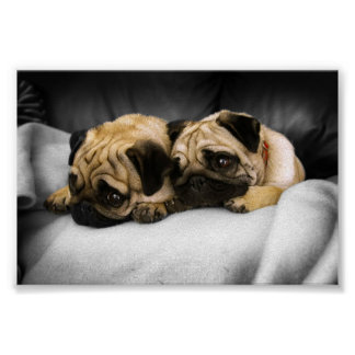Pugs Poster