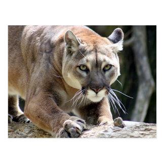Puma sauvage carte postale