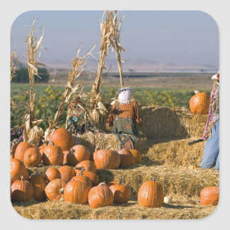 Pumpkin display with hay bales and scarecrows square stickers