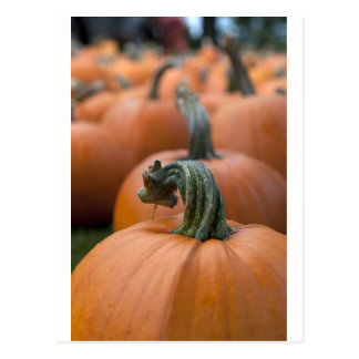 Pumpkin in Field Postcard