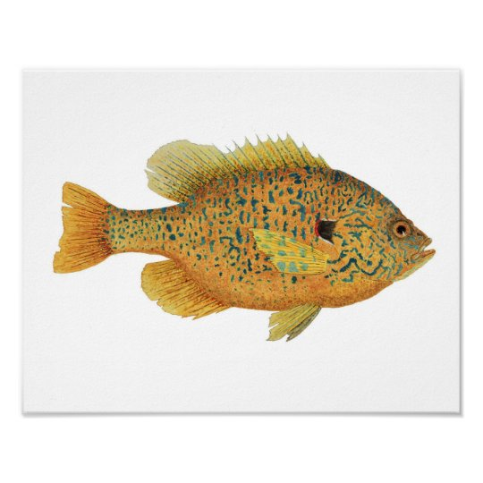 Pumpkinseed Sunfish Art Poster