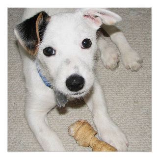 puppy jack russell terrier poster