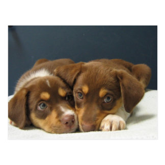Pups Postcard
