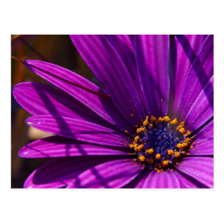 Purple African Daisy Close Up Postcard