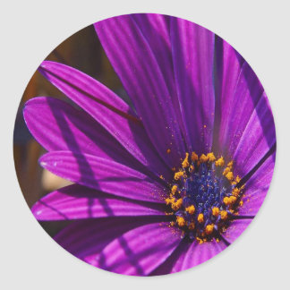 Purple African Daisy Close Up Round Sticker