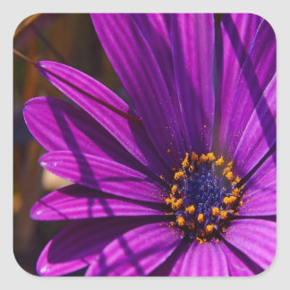 Purple African Daisy Close Up Square Sticker
