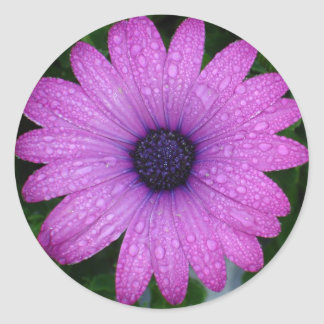 Purple African Daisy with Raindrops Classic Round Sticker