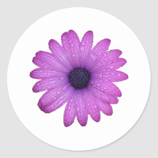 Purple African Daisy with Raindrops Isolated Round Sticker