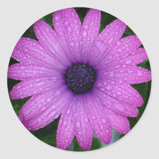 Purple African Daisy with Raindrops Round Sticker