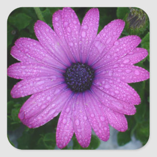 Purple African Daisy with Raindrops Square Sticker