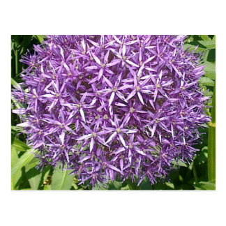 Purple Allium Flower Postcard