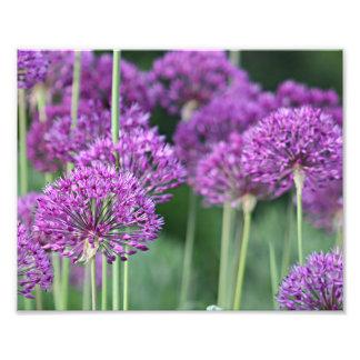 Purple allium flowers photo print