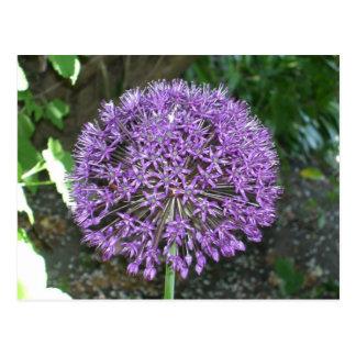 Purple Allium Postcard