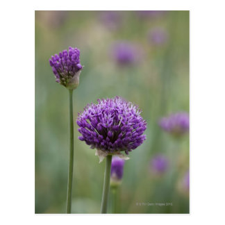 Purple Alliums with natural diffused background Postcard