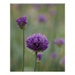 Purple Alliums with natural diffused background Poster