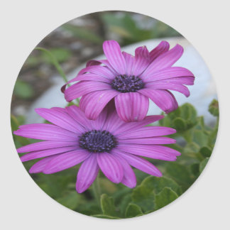 Purple and Pink African Daisy Flowers Round Sticker