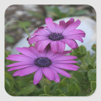 Purple and Pink African Daisy Flowers Square Sticker