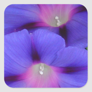 Purple and Pink Colored Morning Glory Flowers Clos Square Sticker