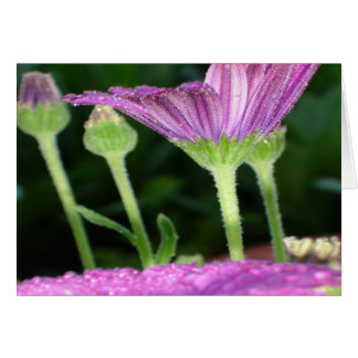 Purple And Pink Daisy Flower in Full Bloom Card
