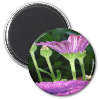 Purple And Pink Daisy Flower in Full Bloom Magnet
