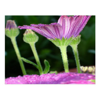 Purple And Pink Daisy Flower in Full Bloom Postcard