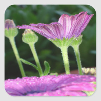 Purple And Pink Daisy Flower in Full Bloom Square Sticker