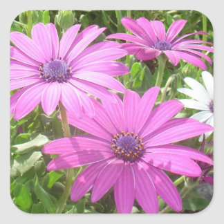 Purple And Pink Tropical Daisy Flower Square Sticker